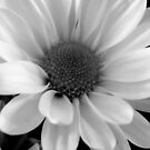 Daisy in B&amp;W    ^ by ctheworld