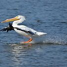 White Pelican Landing by Kate Farkas