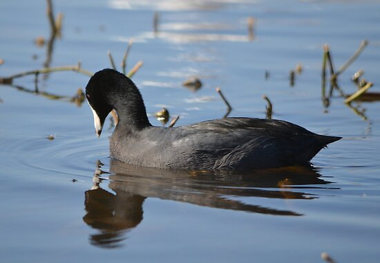 American Coot at White Rock by Kate Farkas