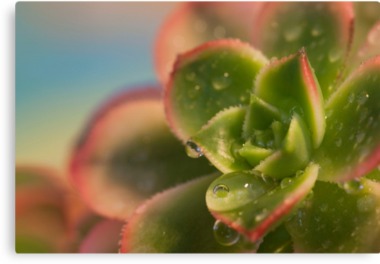 Pink Edged Succulent by Robyn Selem