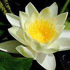 Water Lily - Yellow 1 by Anthony Ogle