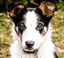 Bertie the Collie by PhotoLouis