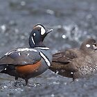 Harlequin Ducks, Yellowstone River by TomReichner