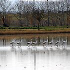 Flamingos's parade by garigots
