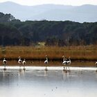 Shy flamingos by garigots