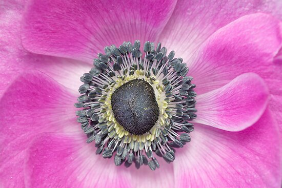 Pink Anemone by imagejournal