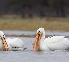 Pelicans at Yellowstone National Park by TomReichner