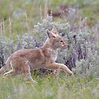 Baby Coyote Running thru Sage Brush, Yellowstone by TomReichner