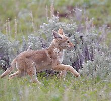 Baby Coyote Running thru Sage Brush, Yellowstone by TomReichner
