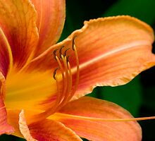 A Beautiful Lily (Un-Touched) by Gene Walls