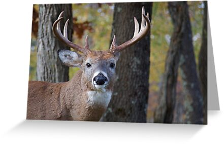 Whitetail Buck Deer Portrait in deciduous forest  by TomReichner