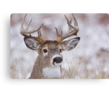 White-tailed Buck Deer with non-typical antlers, winter portrait Canvas Print