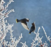 Bohemian waxwings by Halobrianna