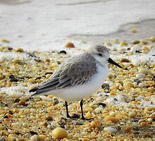Sandpiper by Sharon Woerner