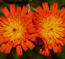 Orange Hawkweed by Kane Slater