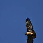 Red-Tailed Hawk above me by fototaker