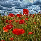 poppys in cornfeild by murch22