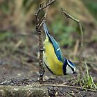 bluetit on a stick  by Brett Watson Stand By Me  Ethiopia