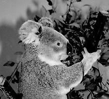 Koala Bear by Jonathan  Green