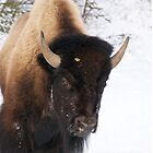 Bison Face by diamondphotogal