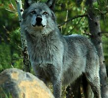 Grey Wolf,  Yellowstone National Park, Wyoming, USA by aidan  moran
