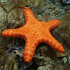 Pentagonaster dubeni - Rapid Bay Jetty, South Australia by Dan & Emma Monceaux