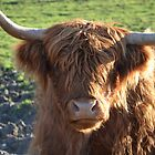 Highland Cattle in Glastonbury by max  randall