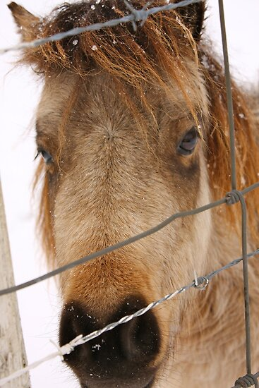 Miniature Horse Behind the Fence by Kent Nickell