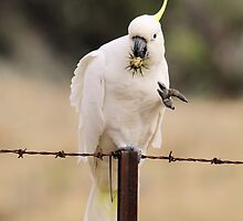 Game of Mineshaft , Sulphure Crested Cockatoo with Thistle by Kym Bradley