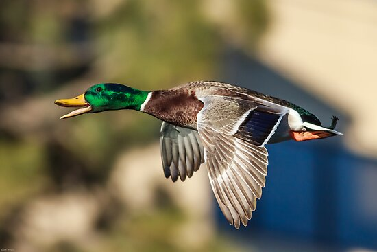 Mallard Drake: I'm Here! by John Williams