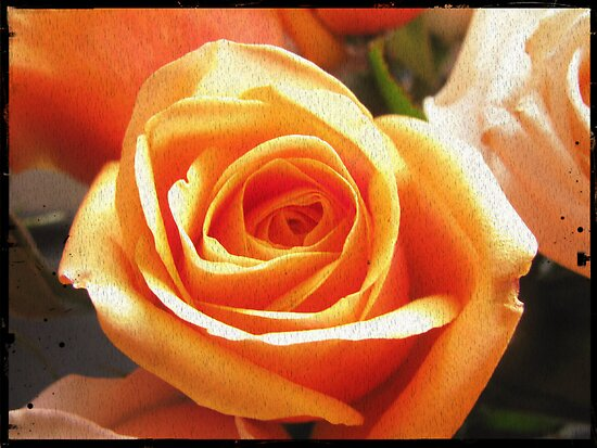 peach rose by Jeannine de Wet