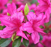 Pink azalea flower photography.  Beautiful summer flower in Vancouver, Canada. by naturematters