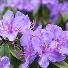 Purple azalea flower photography.  Beautiful summer flower in Vancouver, Canada. by naturematters