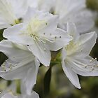 Pretty white azalea (rhododendron) flower photography by naturematters
