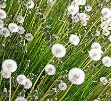 Dandelion background by Cebas