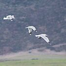Gulls at Carmel Slough by Yukondick