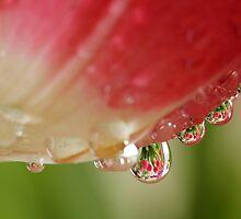 Tulips, Tulips,Tulips! by Lynn Gedeon
