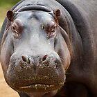 Gloria the Hippo by DavidONeill
