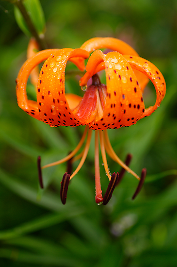 Tiger Lilly by Clare Colins