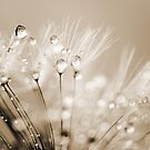 Dandelion Seed with Water Droplets in Sepia by Natalie Kinnear