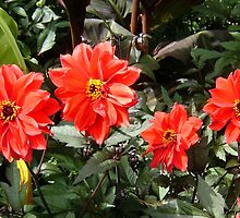 RED DAHLIAS by Shoshonan