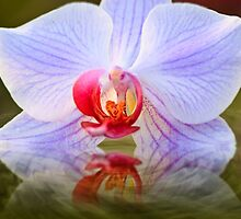 Water Orchid by Delfino