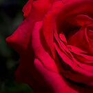 Sweet Red Rose with Dewdrop by gloriart