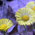 Coltsfoot by Linda Gleisser