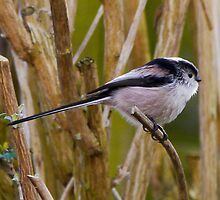 Long Tailed Tit by jesika