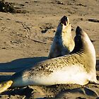 Elephant Seals [Mirounga angustirostris} by Yukondick