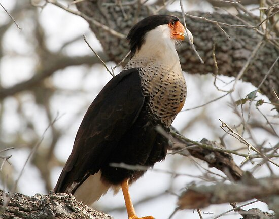 Crested Caracara by Dennis Cheeseman