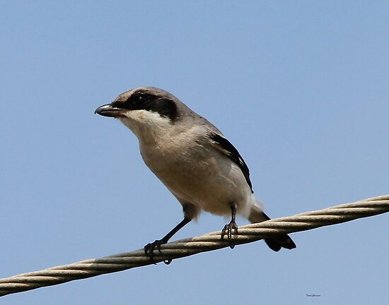 Loggerhead Shrike by Dennis Cheeseman