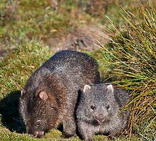 Wombat by jrberesford
