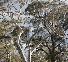 Gum Trees by ©Josephine Caruana